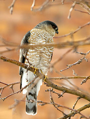 Christine Eckel - Sharp shinned hawk