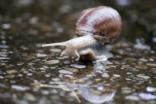large garden snail