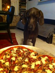 Pizza (VanaTulsi) Tags: dog weimaraner weim blueweimaraner vanatulsi blueweim