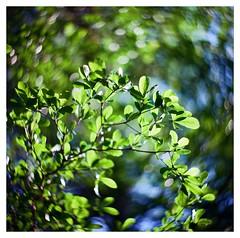 (smadalin2012) Tags: green 6x6 film mediumformat leaf spring kodak bokeh hsinchu taiwan hasselblad scanned 125mm boyer saphir ektar 12519 hasselblad203fe
