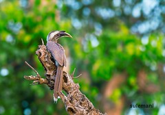 Indian grey hornbill (TARIQ HAMEED SULEMANI) Tags: travel tourism nature colors birds trekking canon grey culture tariq concordians theperfectphotographer tariqhameedsulemani jahanian hoornbill