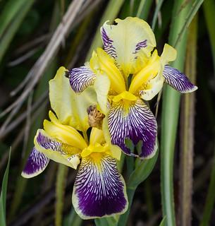 Iris  purple and yellow