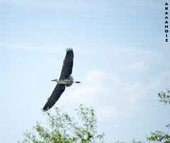 Heron -ardea cinerea , (margarita_christi) Tags: heron nature birds flying greece timeless nikond3200 macedonian florina makedonia prespes nikkor55200 ardae  macedoniagreece northernmacedonia