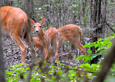 Staying Close to Mama (Larry Wilkin) Tags: photo camera nikon nikonnikkor55300mm nature animal deer whitetail whitetaileddeer fawn odocoileusvirginianus trumbullwoods chicago