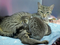 Mama & Babies_09 (AbbyB.) Tags: mtpleasantanimalshelter easthanovernj newjersey shelter pet rescue adopt petphotography shelterpet cat kitten momandkittens babies kitty
