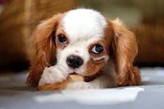 / Englishman in Japan... (Drummingjack) Tags: dog animal okinawa yomitan japan nihon  asia cavalier king charles spaniel travel island nippon british english torajiro