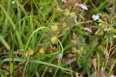 Das Sumpf-Läusekraut (Pedicularis palustris) setzt Früchte an; Norderstapel, Stapelholm (24) (Chironius) Tags: stapelholm norderstapel schleswigholstein deutschland germany allemagne alemania germania германия szlezwigholsztyn niemcy moor sumpf marsh peat bog sump bottoms swamp pantano turbera marais tourbière marécageuse asterids lamiids lamiales lippenblütlerartige sommerwurzgewächse orobanchaceae