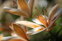 Lily (kurupa_m) Tags: summer plant flower hokkaido lily     xt10