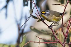 Striated Pardalote 2016-06-15 (60D_1673) (ajhaysom) Tags: striatedpardalote pardalotusstriatus woodlandshistoricpark greenvale melbourne australia australianbirds canoneos60d sigma150600