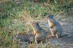 wyoming ground squirrels (johncarney) Tags: usa animal fauna america mammal rodent unitedstates wyoming jacksonhole groundsquirrel wyominggroundsquirrel schwabacherslanding urocitelluselegans