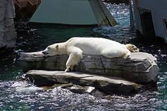 Ob der Eisbr ein Sonnenbad nimmt? (ingrid eulenfan) Tags: animal zoo hannover polarbear tier icebear eisbr sonnenbad relaxen faulenzen