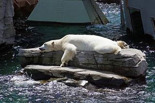 Ob der Eisbär ein Sonnenbad nimmt?
