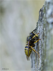 Wasp 030716(1*) (Gertj123) Tags: insect eating macro bokeh yellow black summer canonef100mm28l wood