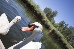 _MG_4007 (Fernando Fornis Revuelta) Tags: patos cisnes pllasdeagua pollas pollasdeagua