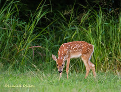 Fawn (Lindell Dillon) Tags: oklahoma nature wildlife deer tamron whitetail eos7d lindelldillon