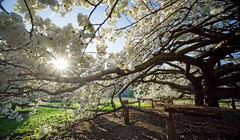 The flowering tree (marko.erman) Tags: jardindesplantes paris france tree flowers bloom blooming sun spring branches contrejour sony wideangle uwa