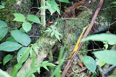 Two Poison Dart Frogs (Lanercost Photography) Tags: poison dart frog costa rica outdoor orange blue rainforest guanacaste costarica