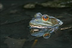The Dark Pool (muledriver) Tags: nature frogs amphibians bullfrogs