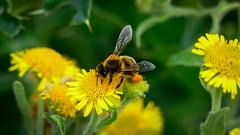 Wild Bee (williams19031967) Tags: f28 600mm 25mm leica lumix fz1000 fz72 fz200 fz330 fz300 powerzoom zoom power panasonic up close wellingborough honey nector embankment scene pretty britain uk england yellow flower insect bumble macro bee outdoor animal