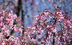 sunny and bright too (Dotsy McCurly) Tags: sunny bright pink tree nature beautiful blue sky nikon d750 dof bokeh nj spring collection