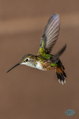 0919 IMG_3702 (JRmanNn) Tags: hummingbird backyard lasvegas bird