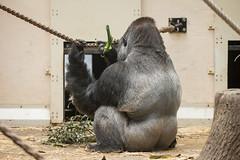 2016-07-22-16h36m05.BL7R1647 (A.J. Haverkamp) Tags: canonef100400mmf4556lisiiusmlens amsterdam zoo dierentuin httpwwwartisnl artis thenetherlands gorilla akili pobfrankfurtgermany dob16101994