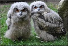 Uhu Junge (modekopp) Tags: nikond90 55300 uhu eule own owl greifvogel raptor wildfreigehegehellenthaleifel wildfreigehegehellenthal greifvogelstationhellenthaleifel