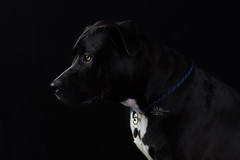 Rocky (goodgirlbetty) Tags: staffy bully breeds stafford portrait photoshop 85mm montarge