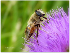 Candy Summer Colours (Nadine V.) Tags: vlieg fly zweefvlieg hoverfly eristalispertinax flowerfly syrphidfly mimicry mimicrae panasonic panasonicdmcfz38 fz38 lumix