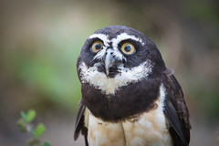 OMG! (jeff's pixels) Tags: pulsatrixperspicillata spectacled owl bird funny face cute feather portrait nikon d750 tamron 150600