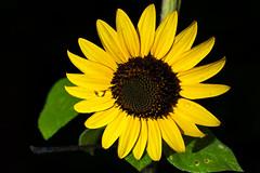 Sunflower Tear (radiocrazy101) Tags: macro plant tokina 100mm d700 nikon flash blackbackground