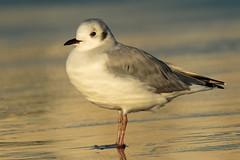 Bonaparte's Gull At Dawn (Matt F.) Tags: bonapartesgull bird