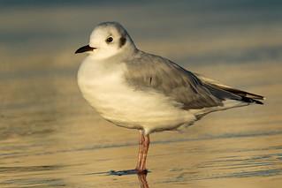 Bonaparte's Gull At Dawn