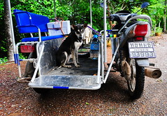 ,, Tinker Bell ,, (Jon in Thailand) Tags: blue red yellow dog k9 tinkerbell scooter sidecar jungle nikon d300 nikkor 175528 mud rain eyes green lunchbox honda trees abandonedabusedstreetdogs asia streetphotographyjunglestyle street littledoglaughedstories