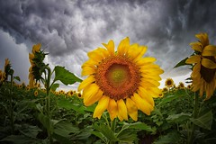 A storm is brewing... (slammerking) Tags: crop cloudy gray stormclouds head agricultural ag farm rural vivitar nikon awesome new kansas clouds green yellow sunflower field fisheye nature countryside sky explored