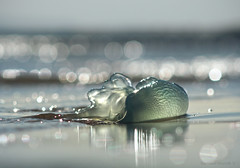 Crystal deception_c (gnarlydog) Tags: jellyfish detail beach lowtide australia adaptedlens manualfocus zuikoom200mmf4 reflection bokeh abstract