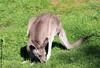 Eastern Grey Kangaroo (Rick & Bart) Tags: mondesauvage animal aywaille zoo safari belgique belgie rickvink rickbart canon eos70d gününeniyisi thebestofday easterngreykangaroo kangaroo