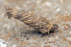 Bagworm moth (Larva) (arian.suresh) Tags: 750d2016img7375 ariansuresh neewernwcup saravanastreettnagar chennai tamilnadu india reversemacro bagworm bagwormmoth bagwormmothlarva animalia arthropoda ditrysia hexapoda insecta pterygota neoptera panorpida lepidoptera glossata heteroneura tineina tineoidea psychidae
