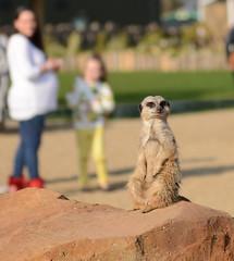 Simples 2 (Simon Caunt) Tags: park nature animals easter zoo meerkat wildlife yorkshire guard lookout doncaster sentry simples eastersunday ivegotmyeyeonyou 2015 keepingwatch sentryduty yorkshirewildlifepark comparingameerkat