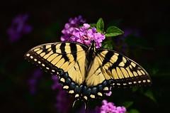 Eastern Tiger Swallowtail butterfly - yellow form (deanrr) Tags: flower yellow butterfly purple lantana easterntigerswallowtail 2015 yellowbutterfly morgancountyalabama purplelantana