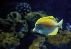 Under the Sea (Serlunar (tks for 5.0 million views)) Tags: fish yellow de photo foto paulo sao aquario serlunar