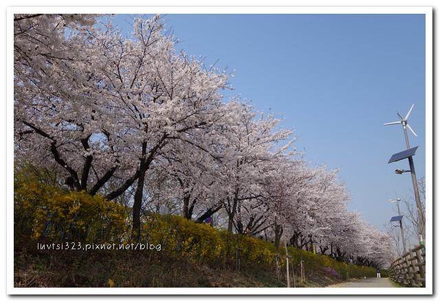여의도벚꽃28
