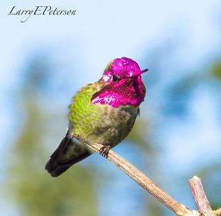 Male Anna's Hummingbird facing the sun