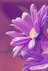 Flower For Thought (obsequies) Tags: flowers summer contrast vintage petals spring whimsy purple special filter daisy delicate tones whimsical filtered