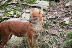 2014-08-17 (185) (CookiiEwe) Tags: park dog animals fur sweden wildlife watching listening hund sverige paws observing djur kolmrden djurpark dhole pls lyssnar tassar observerar