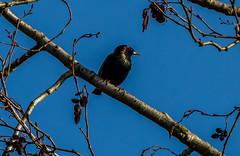 starling (Pingo2002) Tags: bird canon skne sweden starling 7d stare sveri