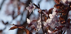 Prunus cerasifera (kadege59) Tags: flowers tree closeup spring blossom blumen bloom blte frhling kirsche
