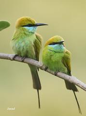 Green Bee Eates (Jawad_Ahmad) Tags: pakistan green birds photography bee eater naturephotography sialkot natyre jawads birdsphotography jawadds