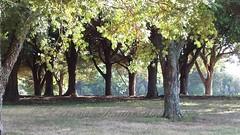 20150116_085510Trees in ABG_wm (kiwinproud) Tags: trees summer grove aucklandbotanicalgardens