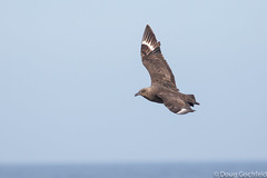 South Polar Skua (Skua 2 of 6) (Doug Gochfeld) Tags: newyork june spring flight crush pelagic spsk southpolarskua paulagic